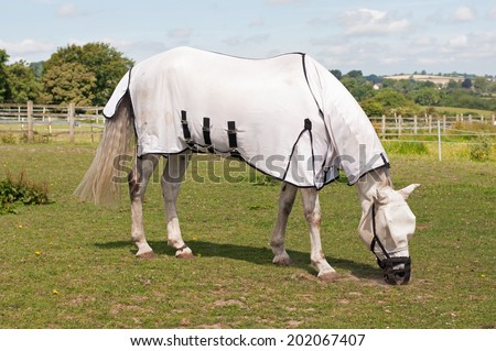 Horse wearing a grazing muzzle to prevent him from becoming ill with laminitis & overweight  - stock photo