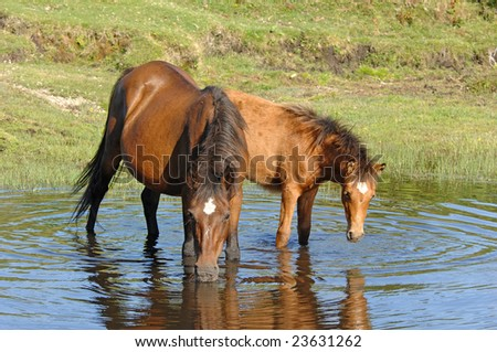 horses drinking in pond - stock photo