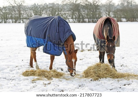 Horses eating hay in a snow covered paddock in winter - stock photo