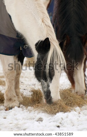 horses eating hay in a snowy paddock (one of a series of pictures featuring cattle and horses in snow) - stock photo