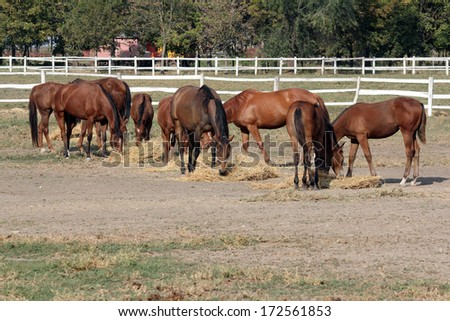 horses eating hay on a farm - stock photo