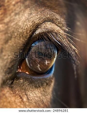 Horses Eye - stock photo