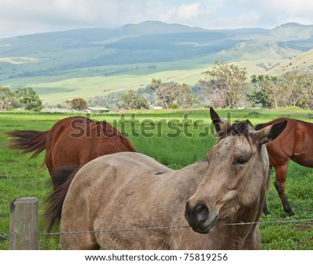 Horses graze in Hawaii's Cowboy Country - stock photo