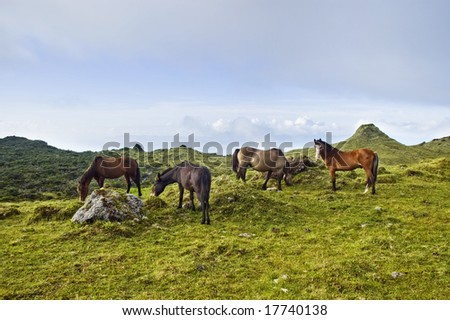 Horses grazing free in a green pasture landscape of Pico island, Azores, Portugal - stock photo