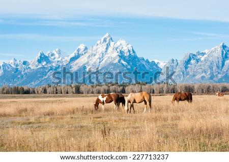 Horses grazing in Grand Teton National Park, USA - stock photo