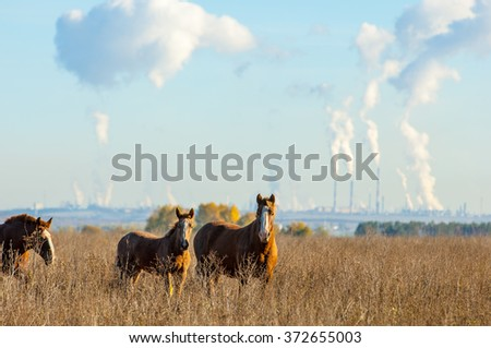 horses grazing in the autumn field. Grazing horses. Beautiful autumn rural landscape with golden forest in background, clear sky and dark horse grazing in front of it - stock photo