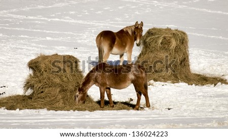 Horses grazing on a winter day. - stock photo