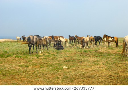 Horses in field, grazing and chilling in the meadow near the sea, herd of horses - stock photo