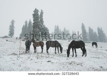 Horses in the snow. Tan-Shan mountains, Kyrgyzstan - stock photo