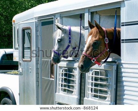 Horses loaded in the trailer, ready for transport. - stock photo
