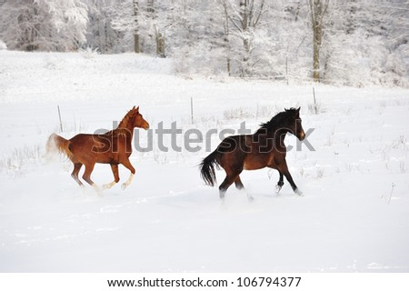 Horses running in snow after a snow storm, taken in lower Michigan. USA - stock photo