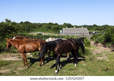 Horses walking up a hill with a pond and old barn in the background. This is the oldest ranch in the country  Deep Hollow Ranch, is at the eastern most point of Long Island in Montauk, New York. - stock photo