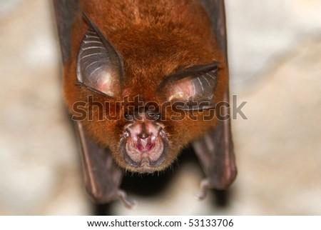 Horseshoe Bat (Rhinolophus sp.) in Batu Cermin Cave, Flores, Indonesia - stock photo