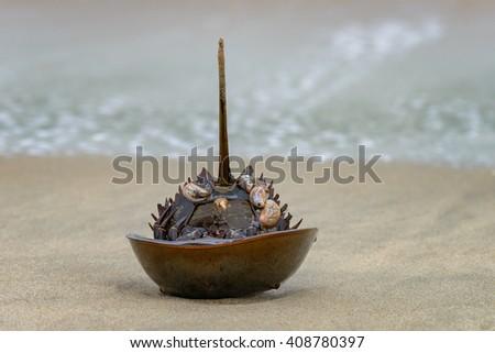 Horseshoe crab shell at Sandy Hook beach - stock photo