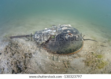 Horseshoe crabs (Limulus polyphemus) are long-lived animals, attaining sexual maturity at 9-12 years of age and may live another 10 years or more.  They must molt in order to grow. - stock photo