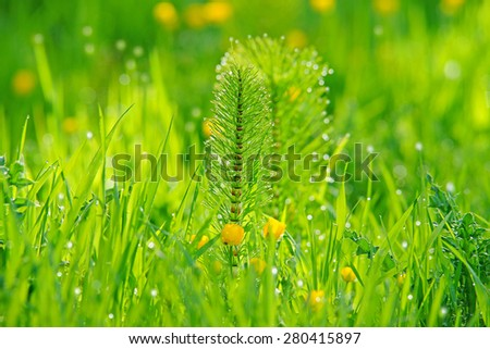 Horsetail or otherwise known as Marestail, Equisetum Arvense, and spring buttercups in a Cotswold meadow with diffused background and bokeh, Gloucestershire, United Kingdom - stock photo