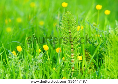 Horsetail or otherwise known as Marestail, Equisetum Arvense, selective focus with spring buttercups in a Cotswold meadow with diffused background and bokeh, Gloucestershire, United Kingdom - stock photo
