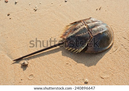Horshoe crab on sandy beach - stock photo