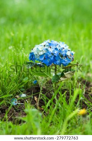 Hortensia Hydrangea Macrophylla typical flower of azores - stock photo