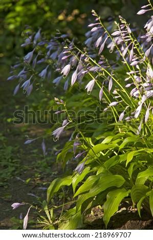 Hosta flowers in the garden  - stock photo