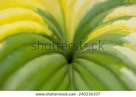 Hosta leaves in close-up - stock photo