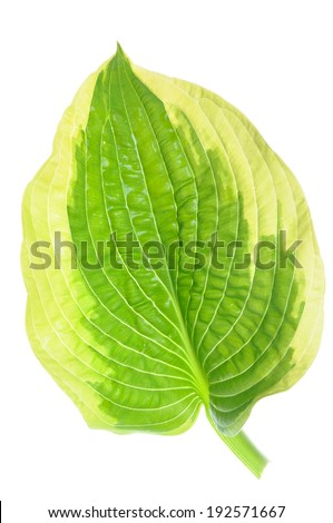 Hostas single leaf decoration isolated on white - stock photo