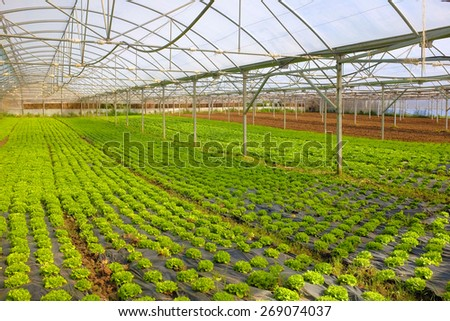 Hot greenhouse full of green small lettuce heads - stock photo