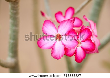 Hot pink Desert Rose flowers, similar to frangipani, standing out against a soft blurred tan background - stock photo