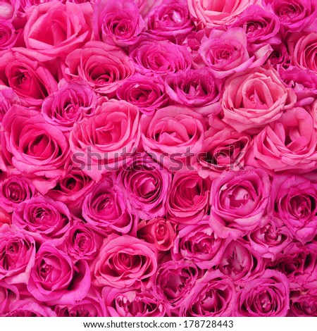 Hot Pink Roses Background - stock photo