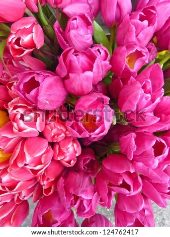 Hot pink tulips - stock photo