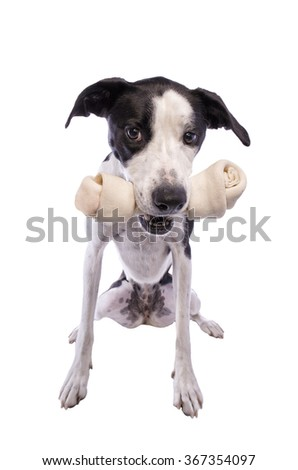 Hound dog holding large bone in mouth isolated - stock photo