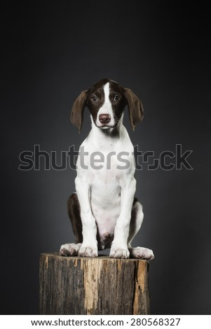 Hound dog puppy - stock photo