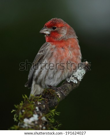 House Finch - stock photo