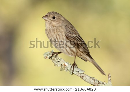 House finch perched on a branch - stock photo