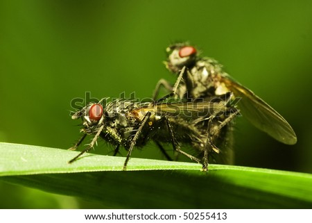 House flies matting (Muscidae Domestica), macro - stock photo