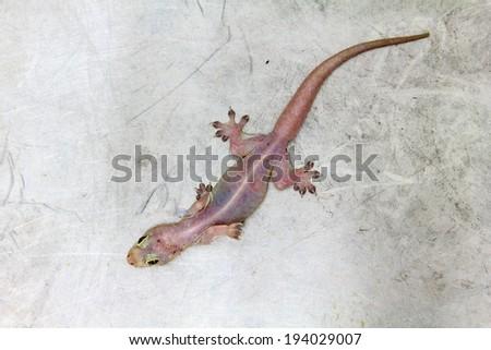 House lizard - gekco on the metal floor - stock photo