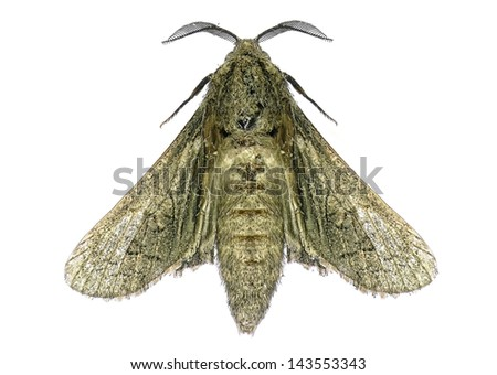 House moth isolated on the white background - stock photo