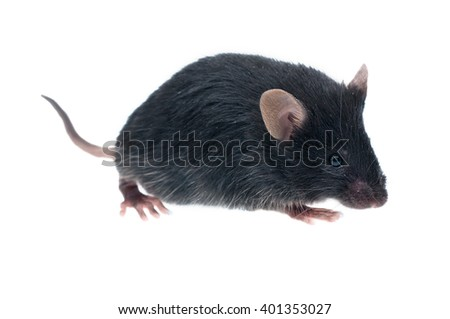 house mouse (Mus musculus) isolated on white - stock photo