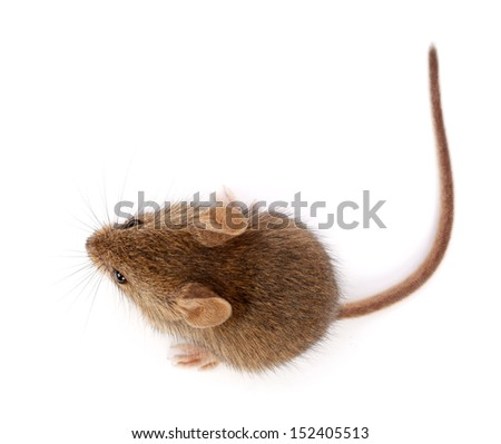 House mouse on white, looking up (Mus musculus) - stock photo