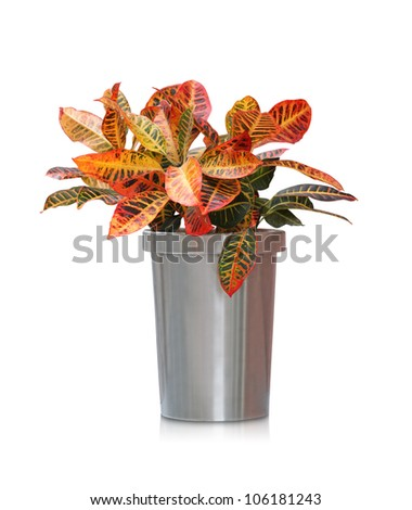 House plant -  Croton - stock photo