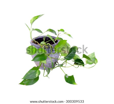 House plant in a pot isolated on white background - stock photo