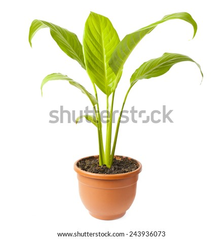 House Plant potted plant isolated on white  - stock photo