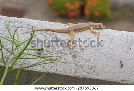House small lizard - gecko - stock photo