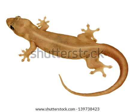 House small lizard - gecko isolated on white background - stock photo