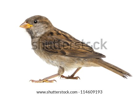 House Sparrow against white background - stock photo