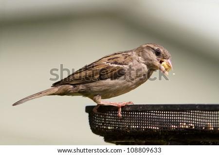 House Sparrow Feeding, Passer domesticus, - stock photo