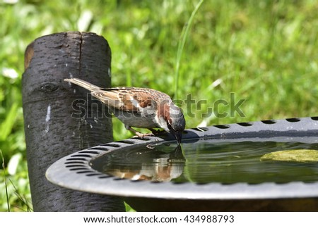 House sparrow in a bird bath - stock photo