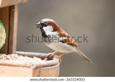 house sparrow male perched on bird feeder - stock photo