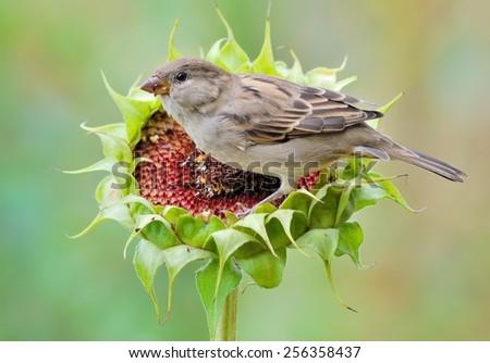 House sparrow on sunflower - stock photo