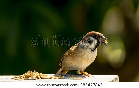 house sparrow - Passer domesticus - eating some rice grain - stock photo